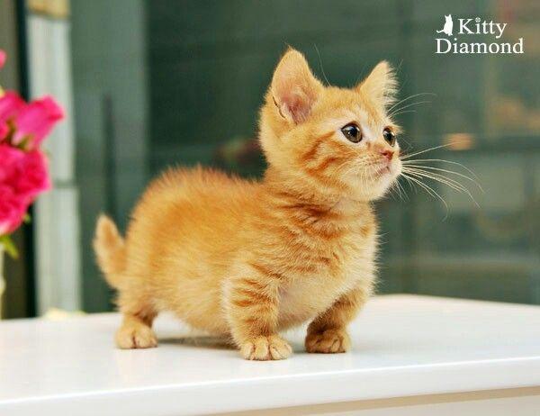 30 photos de Munchkins, une race de chat unique qui reste bébé toute sa vie