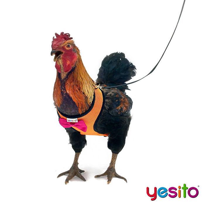 Humour : Vous pouvez désormais promener votre poule grâce à ce harnais